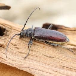 Insecte capricorne sur bois de chne