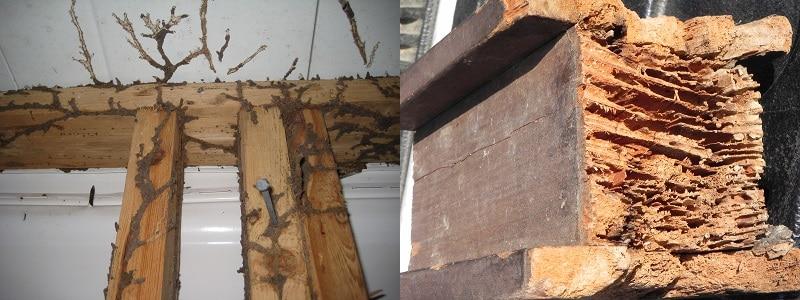 termite degat cordonnet afpah