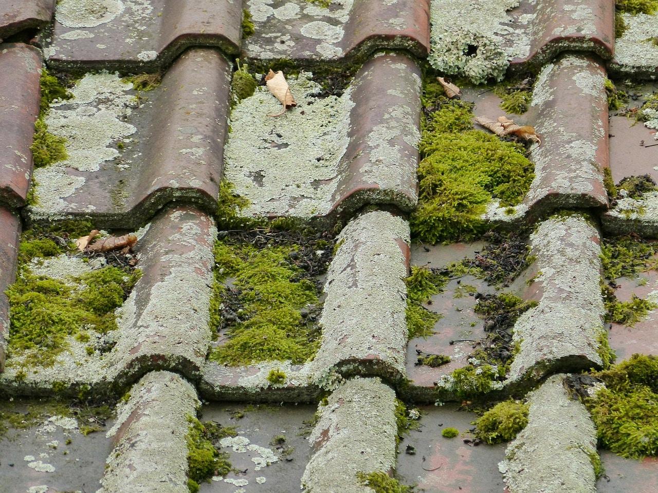 tuiles vieille mousse lichens important
