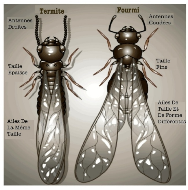 termites termite aile fourmi