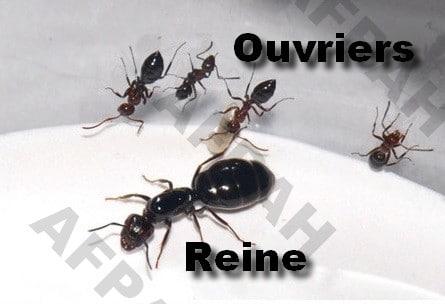 camponotus fourmis charpentieres bordeaux