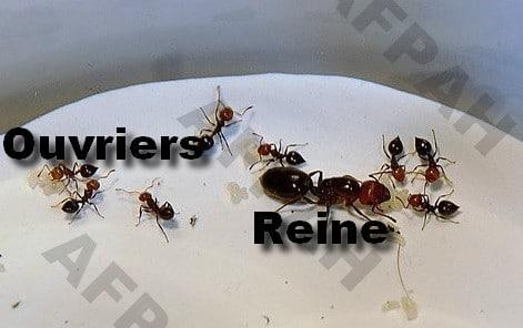 crematogaster fourmis charpentieres bordeaux