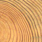 structure interne anneaux de croissance du pin