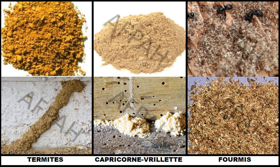 vermoulure sciure capricorne vrillette termites fourmis cordonnets